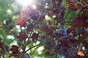 Japanischer Ahorn Standort Sonne : ahorn latest ahornalp eriswil with ahorn japahorn with ahorn fabulous ahorn with ahorn ~ Eleganceandgraceweddings.com Haus und Dekorationen