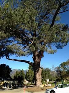 Patio Trees San Diego