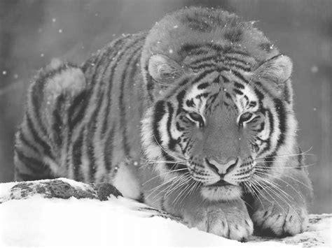 Kleurplaat Sneeuw Tijger kleurplaat tijger coloring tigers pet tiger siberian