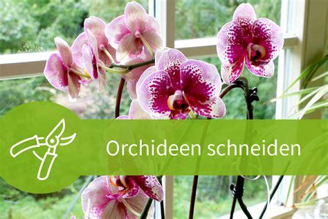 orchideen schneiden orchideen schneiden 8 wege zur strahlenden bl 252 tenpracht