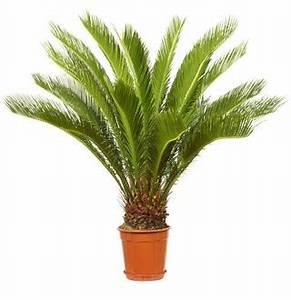 Palmen Für Draußen : palme f r balkon das beste aus wohndesign und m bel ~ Michelbontemps.com Haus und Dekorationen