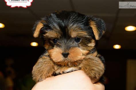 yorkshire terrier yorkie puppy  sale  washington