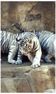 White tiger cubs maul zookeeper to death in India ...