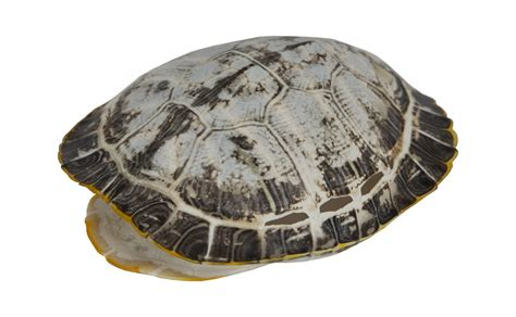 turtle shell sun bleached turtle shells jayson home