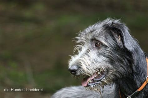 Wolfhound Non Shedding by Wolfhound Charm Breeds Picture