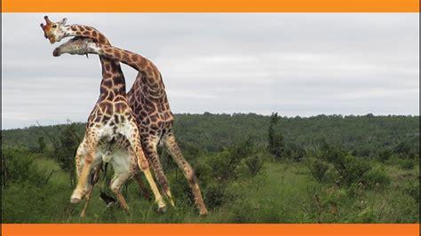 Giraffes Fighting - YouTube