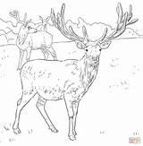 Deer Coloring Pages Western Printable European Dear Detailed Mule Drawings Animal Patterns Drawing Supercoloring Female Sketch sketch template