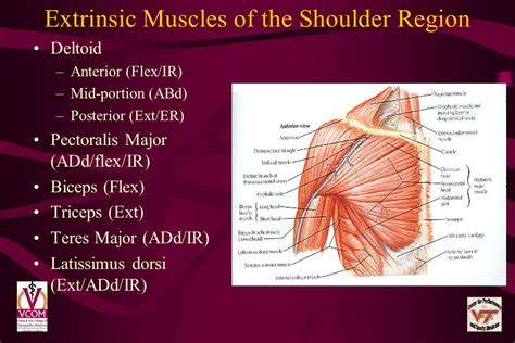 Shoulder Syndromes Voma September Ppt Video Online Download