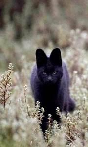 Rare Black Serval wild cat.