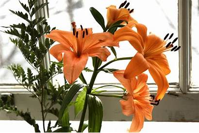 Orange Lilies Aphyr