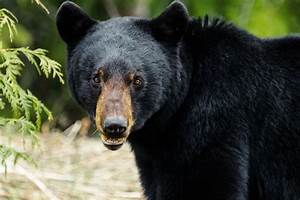 Nuisance Bear Incidents Increased With Spring Bear Hunt