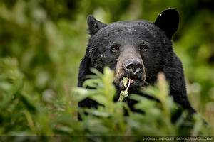 Black bear eating dandelions - 2, Kluane National Park and ...