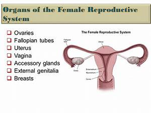 Pathophysiology The Female Reproductive System Dr  Hana