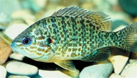 difference  bluegill sunfish sciencing