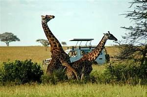 PHOTOS OF GIRAFFES MATING IN SERENGETI NATIONAL PARK ...