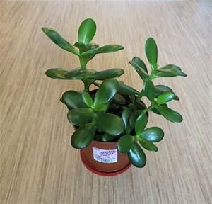 Chinesischer Geldbaum Kaufen : geldbaum neu und gebraucht kaufen bei ~ Michelbontemps.com Haus und Dekorationen