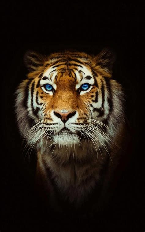 Tiger Wallpaper Best Cool Wallpapers For