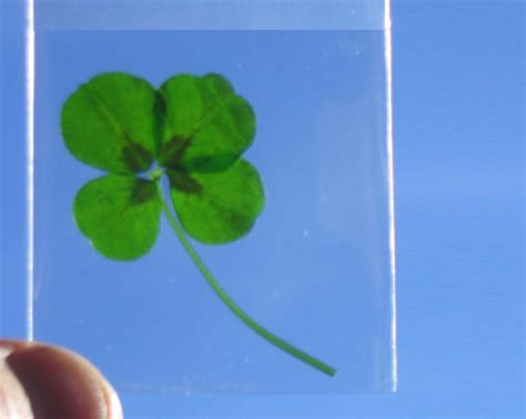 four leaf clover plant for sale genuine four leaf clover plants are now available