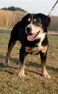 Wie Alt Werden Berner Sennenhunde : entlebucher sennenhunde k nnen alt werden gretes sennenhunde blog ~ Eleganceandgraceweddings.com Haus und Dekorationen