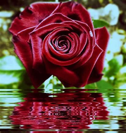 Rosas Hermosas Movimiento Gifs Amor Imagens Flores