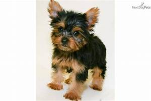 Yorkshire Terrier - Yorkie puppy for sale near Columbus ...