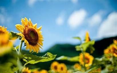Summer Field Sunflowers Ukraine Blur Desktop Wallpapers