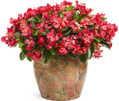 care and treatment of begonias