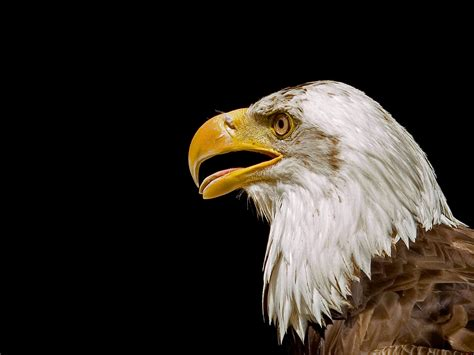 wallpapers eagles birds wallpapers