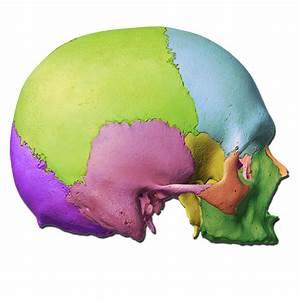 Skull Labeling Quiz