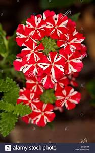 Cluster of spectacular bright red and white flowers of ...
