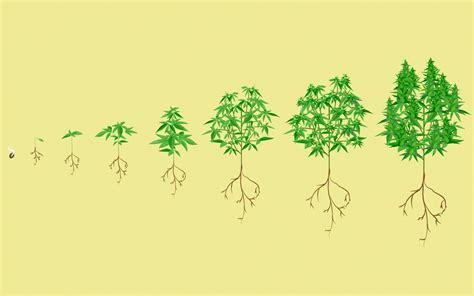 Stages Of The Marijuana Plant Growth Cycle In Pictures Leafly