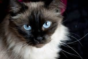 balinese cat relaxmycat specially designed to help relax your cat
