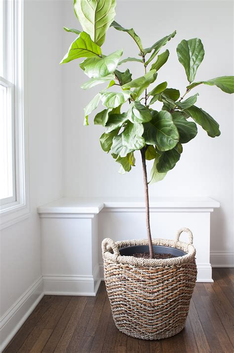 plant pots for sale how to repot a fiddle leaf fig tree room for tuesday