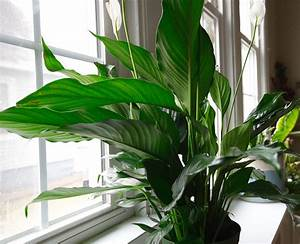 Upshining, Indoor, Plant, Peace, Lily, In, Ceramic, Planter, With, Wood, Stand, Potted, House, Plant, Live