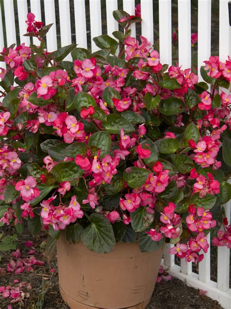 planting begonia tubers in pots container garden winners 2013 miscellaneous begonias the green thumb 2 0