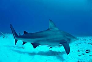 Bull Shark   The Biggest Animals Kingdom