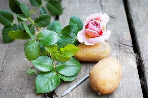 what happens when you plant a potato watch what happens when this guy plants a potato with a rose in it