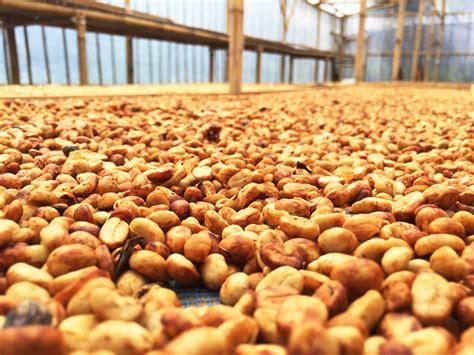 Sumatra supervolcano lake toba honey. Honey Processed Coffee • Oil Slick Coffee