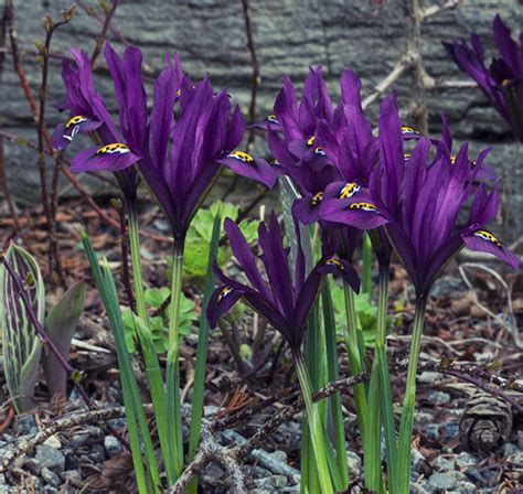 buy iris bulbs iris j s dijt reticulata delivery by