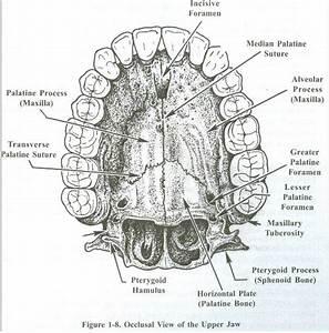 Mandibular Incisive Canal Anatomy Related Keywords ...