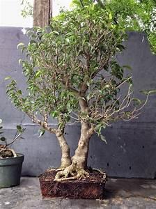 Ficus Benjamini Vermehren : how about some love for a ficus benjamina adam 39 s art ~ Lizthompson.info Haus und Dekorationen