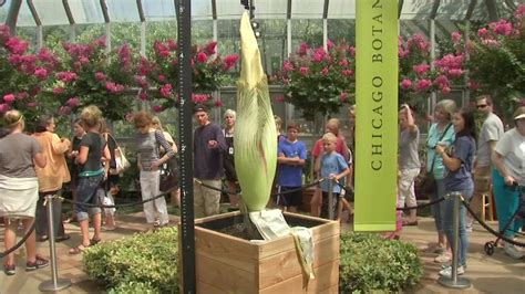 corpse flower opened manually at chicago botanical garden
