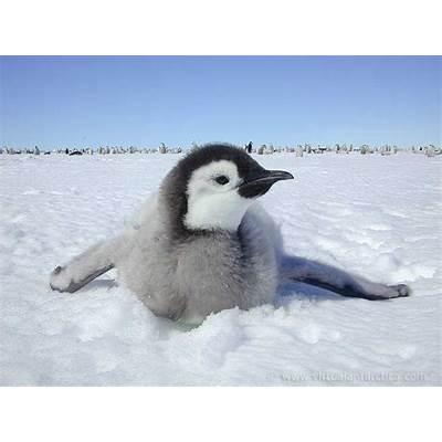 Emperor PenguinInfo and PhotosThe Wildlife