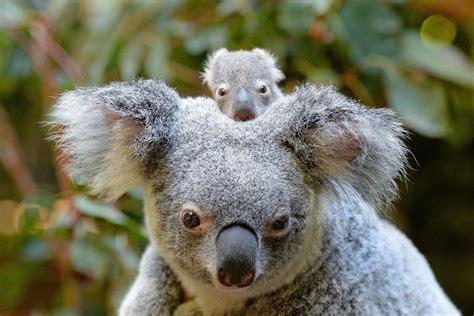 australia zoo welcomes macadamia  koala joey economy