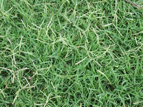 Couch Grass  Fine Lawn
