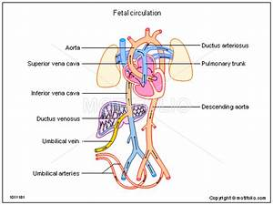 Fetal Circulation Illustrations