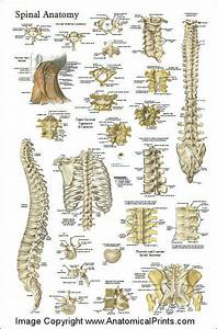 Spinal Anatomy Chart Clinical Charts And Supplies