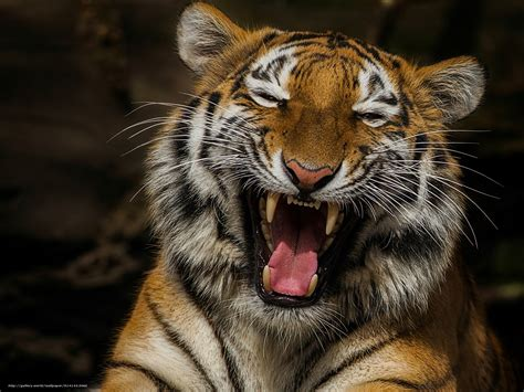 Laughing Animated Wallpaper - wallpaper laughing tiger tiger laughter jaws