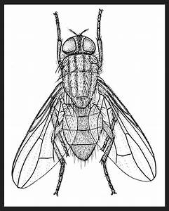 House Fly Drawing