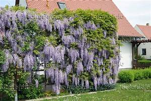 Rankgerüst Für Blauregen : bild japanischer blauregen wisteria floribunda 535439 ~ A.2002-acura-tl-radio.info Haus und Dekorationen